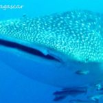 diving whale shark in Nosy Be